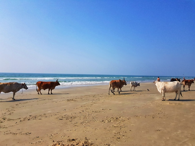 Cows. Benaulim Beach. Goa. South Goa. India. Beaches